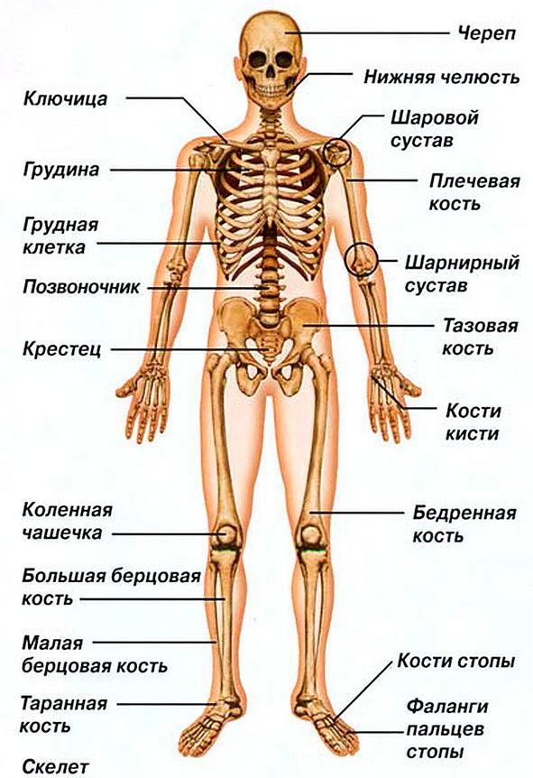 фотоаппарат скелет человека название костей чем обхватить