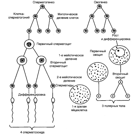 obshie-cherti-spermatogeneza-i-ovogeneza