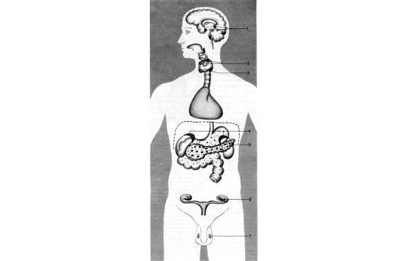 внутренней рисунок секреции железы внешней и