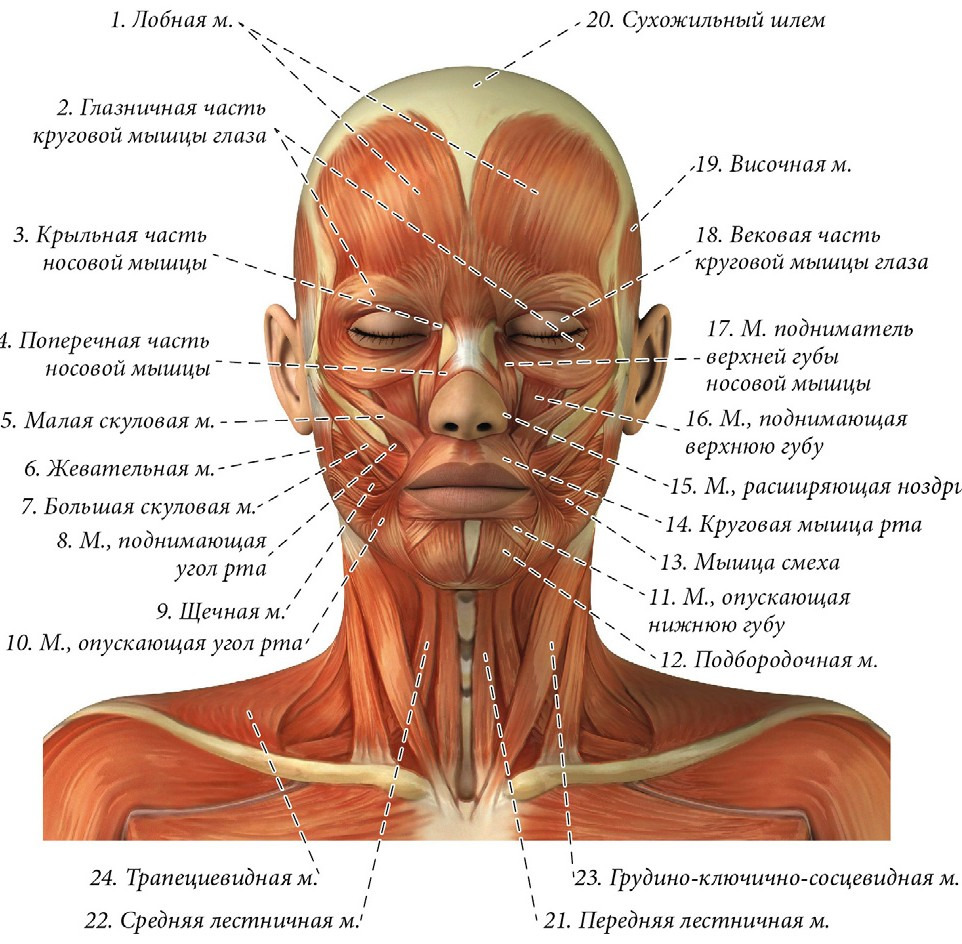 анатомия мышц лица фото советом, конечно