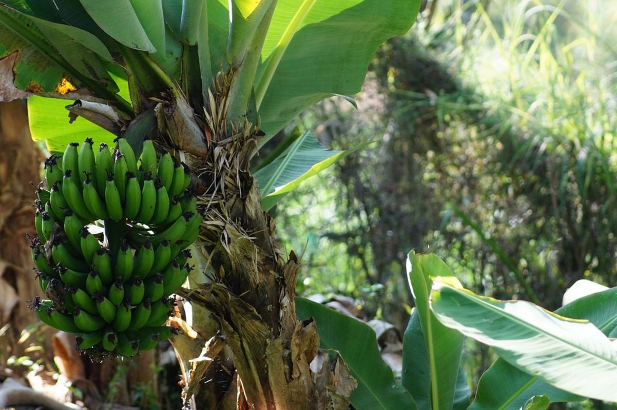 как картинка дерево бананы пока небольшая